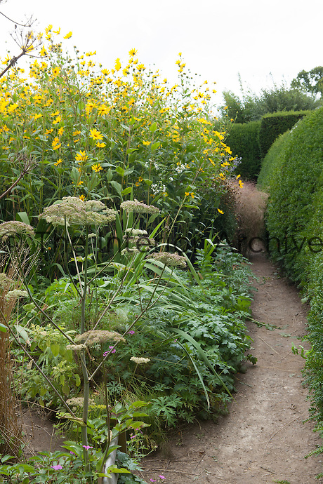 A path winds between a yew (taxus) hedge and border with sunflowers (helianthus salicifolius) at Great Dixter