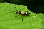Black and Yellow Longhorn Beetle, Rutpela maculata, Denge Woods, KENT UK,