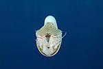 Albino nautilus, Nautilus pompilius