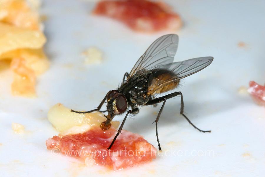 Große Stubenfliege, Gewöhnliche Stubenfliege, Gemeine Stubenfliege, Fliege, Musca domestica, house fly, La mouche domestique