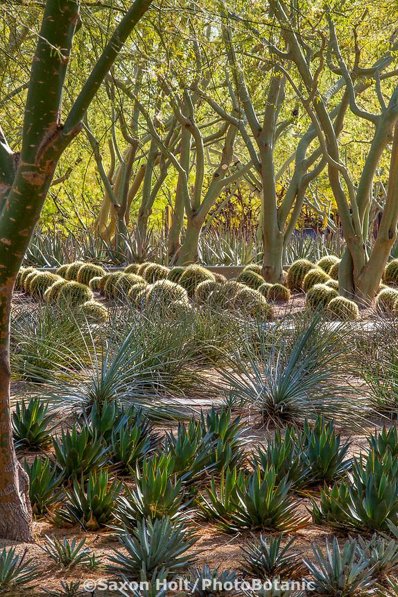 Agave 'Moonshine' under Parkinsonia praecox, Palo Brea Sonoran Palo verde treeswith golden barrel cactus; Sunnylands garden