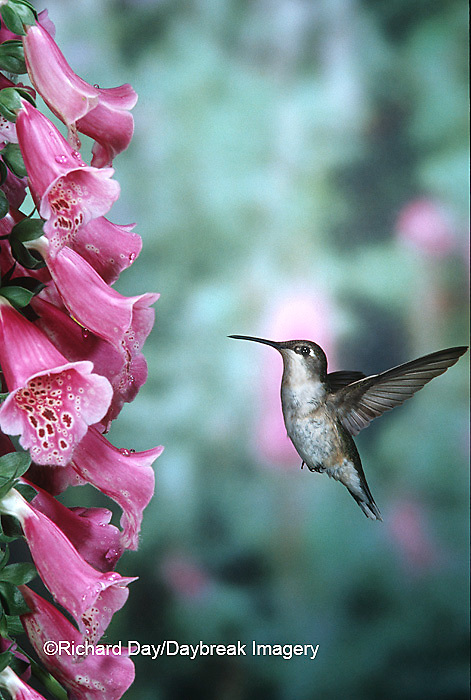 01162-063.16 Ruby-throated Hummingbird (Archilochus colubris) female on Foxglove (Digitalis sp.) Shelby Co.  IL