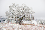 A bare oak tree sits on top of a hill in a snow-covered vineyard at Karmère Vineyards in Amador County's Shenandoah Valley wine grape growing area, Calif.