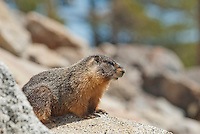 Yellow-bellied marmot, Marmota flaviventris. Near Silver Lake, Sierra Nevada, California