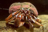 1Y30-017a  Acadian Hermit Crab - Pagurus acadianus