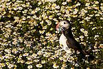 Atlantic Puffin (Fratercula arctica) carrying fish prey, Skomer Island National Nature Reserve, Skomer Island, Pembrokeshire, Wales, United Kingdom