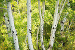 Utah, Aspens in late summer.