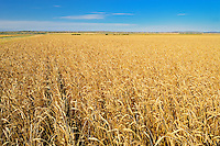 Wheat field<br /> Arcola<br /> Saskatchewan<br /> Canada
