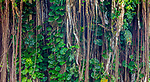 Philodendron vines drape from the aerial prop roots of a fig (Ficus sp.), Hawai&rsquo;i, USA<br /> <br /> Canon EOS 5DS R, EF100-400mm f/4.5-5.6L IS II USM lens, f/13 for 15 seconds, ISO 100
