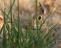 Eastern Cottontail Rabbit (Sylvilagus floridanus), early morning light. National Wildlife.