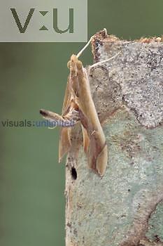 Pyralid Moth (Agathodes designalis), Family Pyralidae, Ecuador.