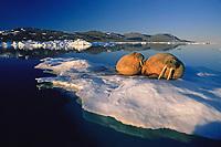 Walrus, Odobenus rosmarus, on ice floe, Odobenus rosmarus, Greenland.