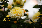 The Rose of the Year &quot;Sunny Sky&quot; at the RHS Hampton Court Flower show. <br /> <br /> Bethany Clarke / RHS / London 29.6.15