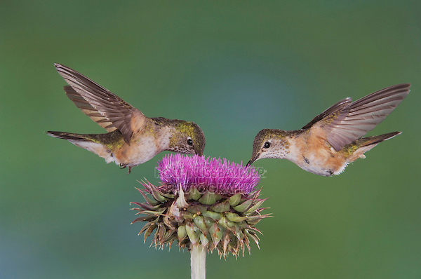 Broad-tailed Hummingbird, Selasphorus platycercus, females in flight feeding on Musk Thistle (Carduus nutans),Rocky Mountain National Park, Colorado, USA