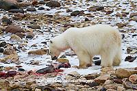 01874-12817 Polar bear (Ursus maritimus) eating Ringed Seal (Phoca hispida)  in winter, Churchill Wildlife Management Area, Churchill, MB Canada