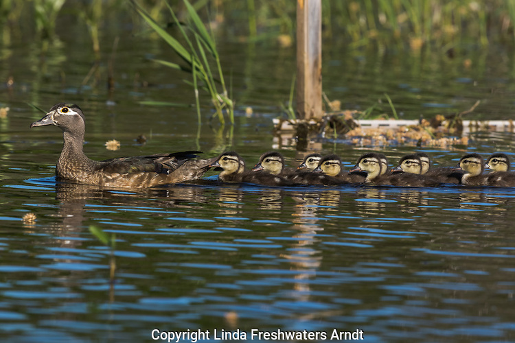 Wood duck family swimming in a northern Wisconsin lake.