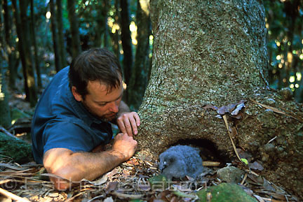 Researcher Terry O'Dwyer with Gould's Petrel (Pterodroma leucoptera) chick in front of nest in base of tree. Cabbage Tree Island, NSW.