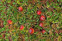 Gewöhnliche Moosbeere, Moos-Beere, Früchte, Vaccinium oxycoccos, Oxycoccus palustris, Wild Cranberry, small cranberry, bog cranberry, swamp cranberry, fruit