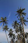 Coconut palm trees growing on sandy beach area, Nilavelli, Trincomalee, Sri Lanka, Asia
