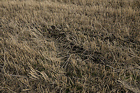 After 4 months from the Malaysian MH17 disaster, a human body imprint of a fallen passenger is still visible on the crash field. Human remains were scattered across fields covering an area of 20 sq km. Near Hrabove, Donetsk Oblast, Ukraine. Nov. 10, 2014