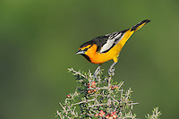 Bullock's Oriole (Icterus bullockii), male perched, Laredo, Webb County, South Texas, USA