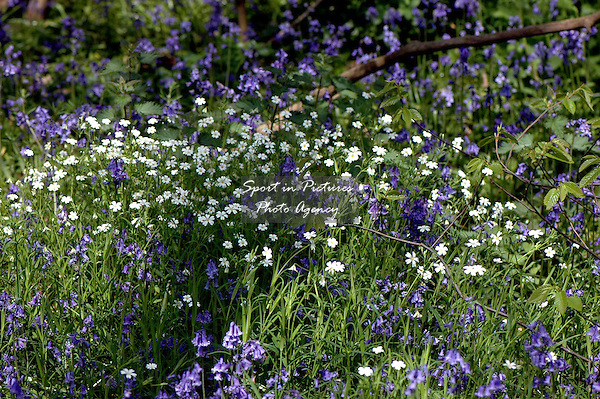 Stitchwort and bluebells in the woods