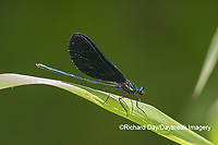 06014-00313 Ebony Jewelwing (Calopteryx maculata) male Washington Co. MO