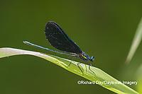 06014-00313 Ebony Jewelwing (Calopteryx maculata) male Washington Co. MO