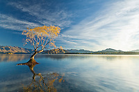 reflection of yellow autumn willow tree reflected in Lake Wanaka, south Island New Zealand. Themes: Tranquility, eternity, nature, contemplation