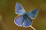Adonis Blue Butterfly, Lysandra bellargus, male with wings open, Provence.France....
