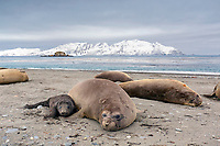South Georgia Island, Salisbury Plain, Southern elephant seal (Mirounga leonina) mother and pup