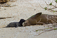 Mother and daughter Hawaiian monk seals enjoy a quiet beach in Hawai'i.