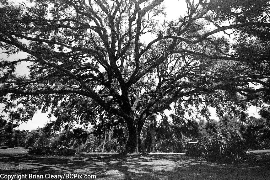 Oak Tree, Koreshan Unity Settlement, Estero, FL, Canon EOS 650, 35mm SLR film camera, August 2018.  (Photo by Brian Cleary/www.bcpix.com)