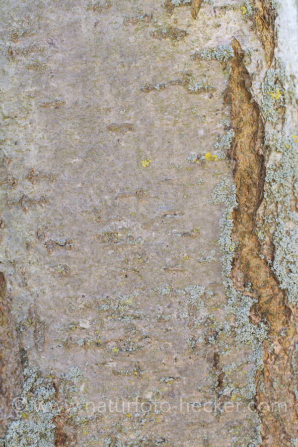 Vogelbeere, Rinde, Borke, Stamm, Vogel-Beere, Eberesche, Früchte, Sorbus aucuparia, Mountain Ash, Rowan, bark, rind