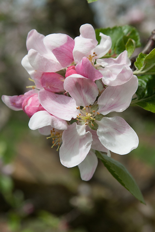 Blossom of Apple 'Edith Hopwood', early May. An an early 20th century English dessert apple from Hornchurch in Essex.
