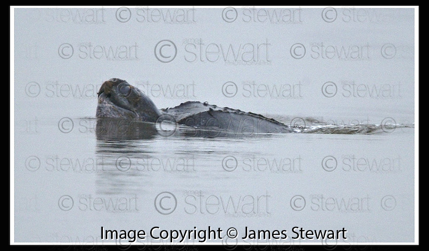 14/11/2001                 Copyright Pic : James Stewart .Ref :                       .File Name : stewart03-turtle.THE LEATHERBACK TURTLE THAT HAS BEEN SPOTTED ONCE AGAIN IN THE RIVER FORTH..... TODAY MARINE BIOLOGISTS AND SSPCA INSPECTORS EAMINED THE TURTLE TO DECIDE ON THE NEXT COURSE OF ACTION..........(see coppy from George Mair / Tim Bugler).James Stewart Photo Agency, Stewart House, Stewart Road, Falkirk. FK2 7AS      Vat Reg No. 607 6932 25.Office : +44 (0)1324 630007     .Mobile : + 44 (0)7721 416997.Fax     :  +44 (0)1324 630007.E-mail : jim@jspa.co.uk.If you require further information then contact Jim Stewart on any of the numbers above.........