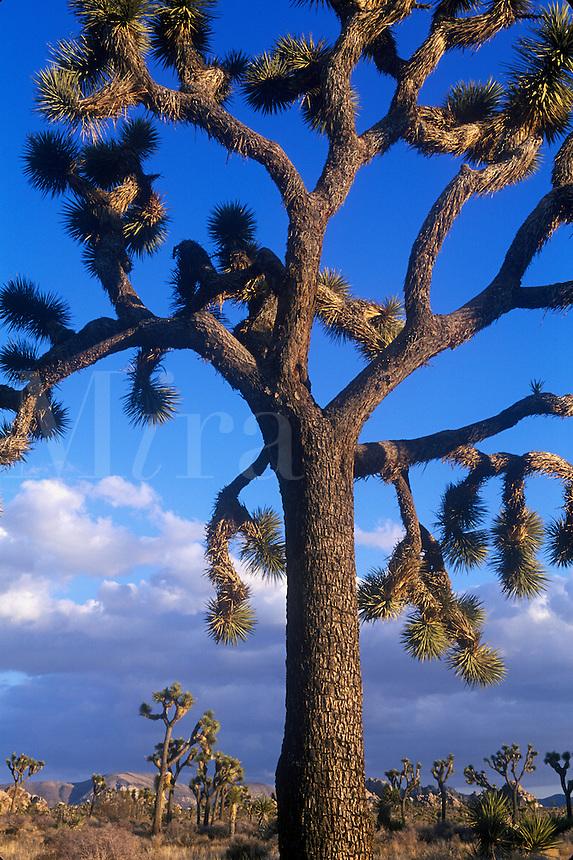 Joshua Tree (Yucca brevifolia). Joshua Tree National Park, CA