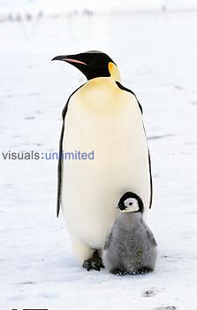 Emperor Penguin and chick ,Aptenodytes forsteri,