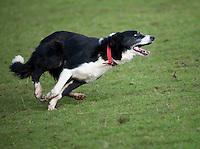 Sheepdog running.