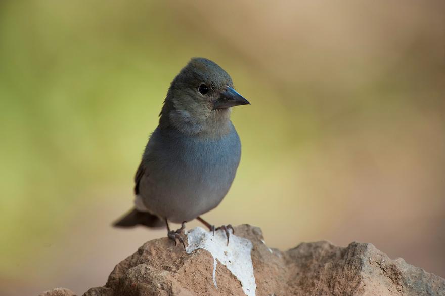 Teide's Blue Chaffinch (Fringilla teydea), Teide National Park, Tenerife Island, Canary Islands, Spain.