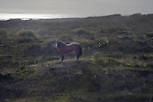 Wild horse in sand dunes at Hukatere,Ninety Mile Beach, Far North, Northland, NZ.