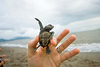 A baby sea turtle squirms to get loose at a sea turtle release in Puerto Vallarta Mexico.