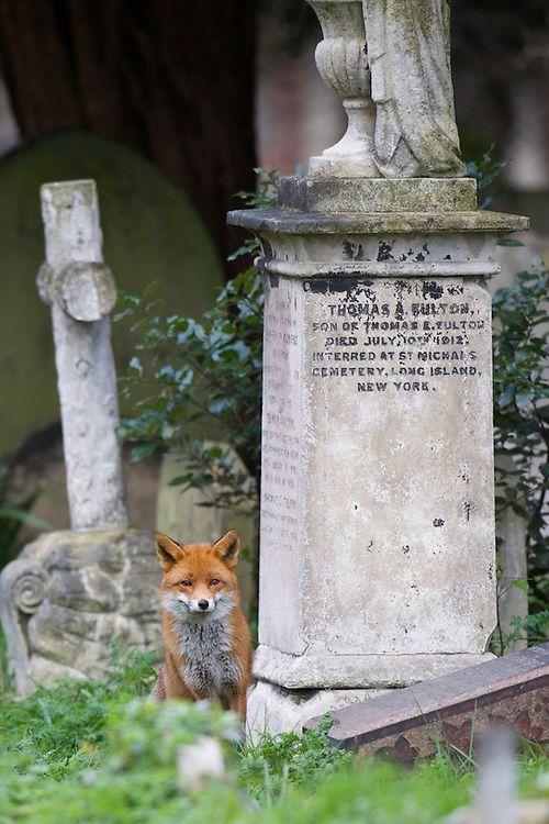 An urban Red fox (Vulpes vulpes) living in a cemetery in the UK.