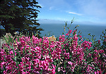 Blooming peas on Alcatraz Island