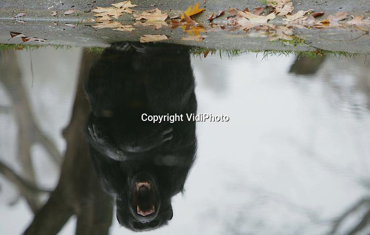 Foto: VidiPhoto..ARNHEM - De chimpansees van Burgers' Zoo in Arnhem wachten donderdag ongeduldig tussen de gevallen herfstbladeren tot ze gevoerd worden. De kolonie, die uit meer dan twintig dieren bestaat, mag vanaf dit moment zelf beslissen of ze binnen blijft of naar buiten gaat. Als de temperatuur verder daalt zijn de mensapen tot de lente voornamelijk nog maar in de verwarmde binnenverblijven te bewonderen.
