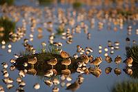 Long-billed Dowitchers and other shorebirds resting in coastal estuary.  Grays Harbor National Wildlife Refuge, Washington.  Spring migration.