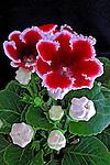 Flores. Gloxinia. (Sinningia speciosa).SP. Foto de Manuel Lourenço.