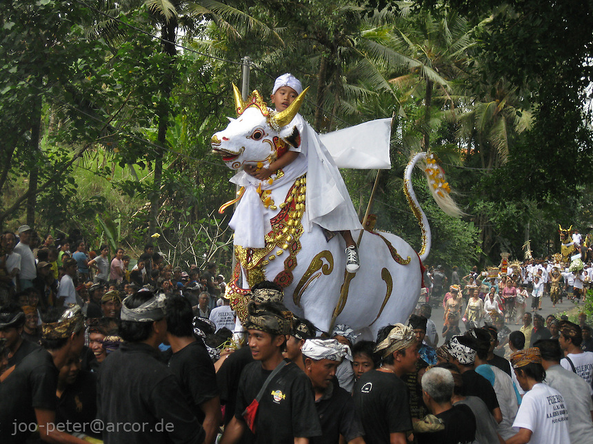 the white taurus is brought to the cremation place, a child of the family rides on it,  village Mas, Bali, archipelago Indonesia