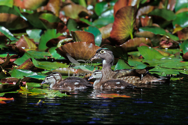 Female wood duck with young ducklings (Aix sponsa), Pacific N.W. June.