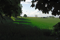 Field of spring wheat growing in field, Vale of York, North Yorkshire, England.
